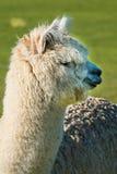 L'alpaga sveglia si è alzata per lana sul ranch dell'Oregon Immagine Stock Libera da Diritti