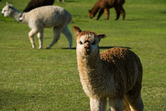 L'alpaga sveglia si è alzata per lana sul ranch dell'Oregon Fotografia Stock Libera da Diritti