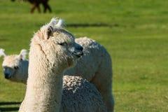 L'alpaga sveglia si è alzata per lana sul ranch dell'Oregon Immagini Stock