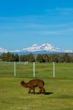 L'alpaga sveglia si è alzata per lana sul ranch dell'Oregon Fotografia Stock