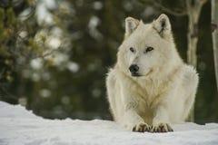 L'alpha loup s'étendant sur une neige a couvert la colline image stock