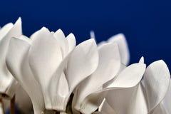L'alpino viola del fiore bianco Fotografia Stock Libera da Diritti