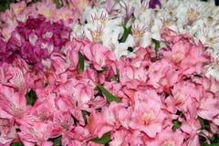 L'Alstroemeria est rouge-rose et tacheté multicolores Fond des fleurs image libre de droits