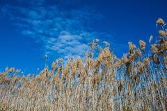 L'alta erba asciutta della palude di phragmites in zone umide inonda Fotografia Stock Libera da Diritti