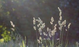 L'alta erba su un prato di verde dell'estate ha riempito di luce Fotografie Stock Libere da Diritti