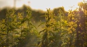 L'alta erba su un prato di verde dell'estate ha riempito di luce Fotografie Stock