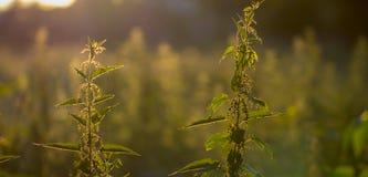 L'alta erba su un prato di verde dell'estate ha riempito di luce Immagine Stock