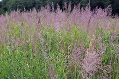 L'alta erba verde con le spighette rosa lanuginose Immagini Stock