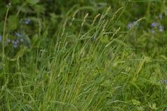 L'alta erba verde si sviluppa in primavera Fotografia Stock Libera da Diritti