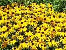 L'alta margherita di giallo del parco di Toronto fiorisce 2016 Fotografie Stock