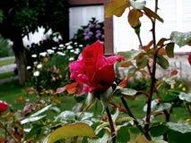 L'alta qualità del calidad di Rosa Alta è aumentato Fotografia Stock Libera da Diritti