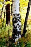L'alto birchtree recintato del parco novembre 2018 immagine stock libera da diritti