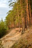 L'alto legno di pino in fasci che mettono il sole Fotografia Stock Libera da Diritti
