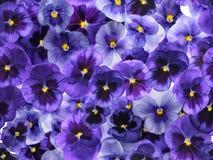 L'alto pourpre frais photographié fleurit, couvrant le fond complet photo libre de droits