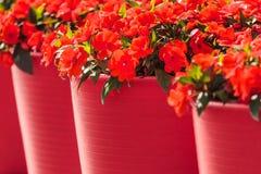 L'alto rouge fleurit dans de grands pots de fleur rouges Photographie stock