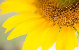 L'alveare delle api impollina il girasole Fotografia Stock Libera da Diritti