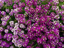 L'Alyssum fleurit le fond Images libres de droits