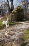 L'amande fleurit au printemps image stock