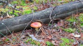 L'amanite rouge lumineuse de champignon a trouvé dans la forêt octobre clips vidéos