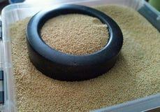 L'amaranthe est des graines salutaires qui sont rapportées avec le quinoa Images stock