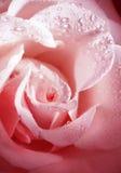 L'amende de fleur a monté avec la rosée de matin Photos stock