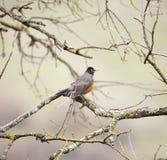 L'americano Robin, migratorius del Turdus, si è appollaiato su un albero Fotografie Stock