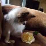 L'ami de Pomeranian s'est levé Photos stock