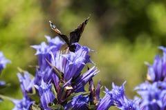 L'amiral rouge de papillon de jour s'assied sur une fleur de gentiane de saule Image libre de droits