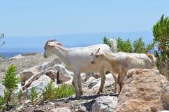 L'amitié des chèvres Image libre de droits