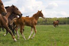 L'amorce du troupeau. Images stock