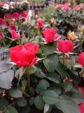 L'amore è come fiori immagine stock