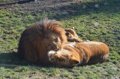 L'amore del leone Fotografia Stock