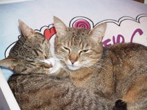 L'amore della madre del gatto Fotografie Stock