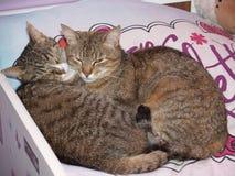 L'amore della madre del gatto Immagini Stock Libere da Diritti