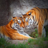 L'amore della tigre. Fotografie Stock