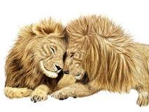 L'amore di un leone Fotografie Stock