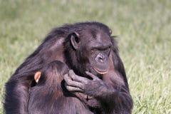 L'amour de chimpanzé entre la mère et l'enfant Photos libres de droits