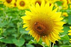 L'amour de l'abeille Photographie stock