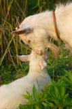 L'amour de la chèvre Image stock