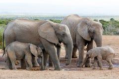 L'amour de la famille outre de l'éléphant de Bush d'Africain Image stock