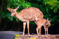 L'amour de mère, les cerfs communs et le faon mignon Photos stock