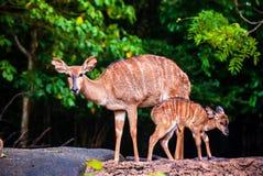 L'amour de mère, les cerfs communs et le faon mignon Image stock