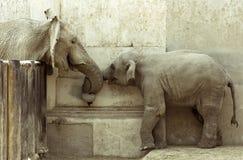 L'amour des éléphants Photos libres de droits