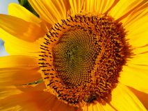 L ` amour des abeilles nalewa les tournesols/historię miłosną między pszczołą i słonecznikiem fotografia stock