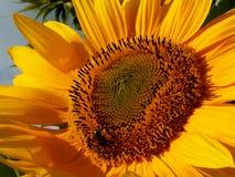 L ` amour des abeilles nalewa les tournesols/historię miłosną między pszczołą i słonecznikiem zdjęcia stock