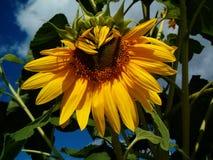L`amour des abeilles pour les tournesols/ Love story between a bee and a sunflower. Love story between a bee and a sunflower Royalty Free Stock Photo