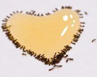 L'amour des fourmis Images stock