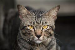 L'amour du chat dans le visage, portrait d'un chat Photographie stock libre de droits