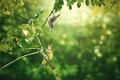 L'amour du sunbird soutenu par l'olive de mère et de bébé Images libres de droits
