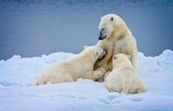 L'amour polaire en Spitzbergen, Norvège, ours blanc soignant met bas dans le sauvage Image stock
